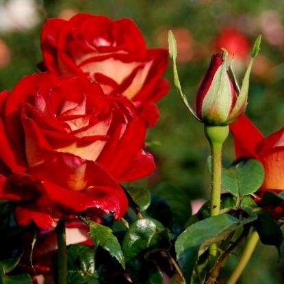 Роза Биколетте штамбовая