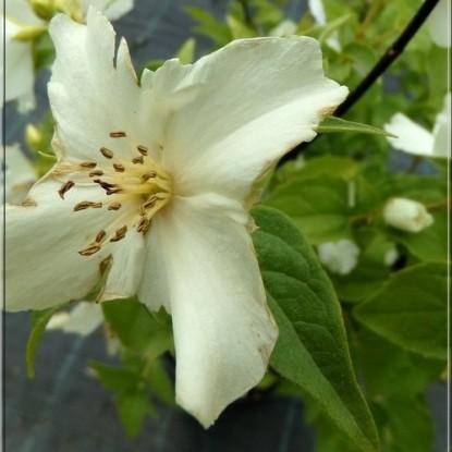Чубушник Розаце