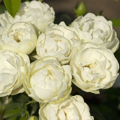 Роза Уайт Кавер