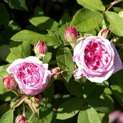 Роза Комт де Шабор HISTORICAL