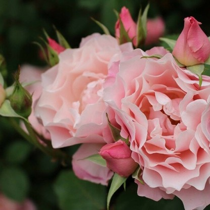 Роза Дафна