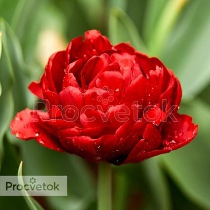 Тюльпан Анкл Том