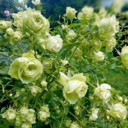 Роза Лавли Грин MEILLAND