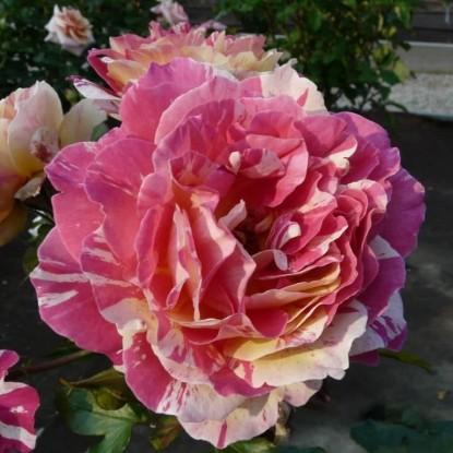 Роза Розита Миссони BARNI