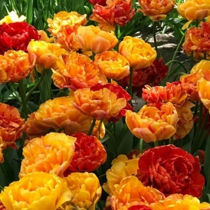 Тюльпан Сан Лавер