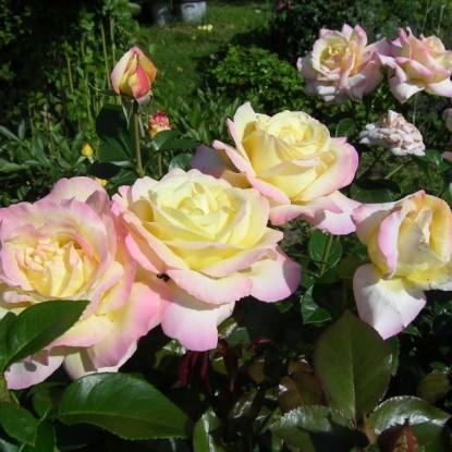 Роза Джойя BARNI