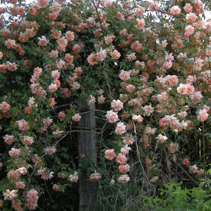 Роза Альбертина