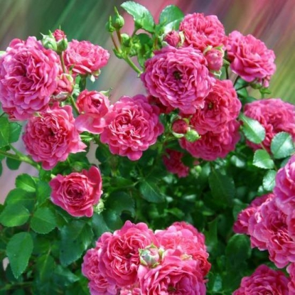 Роза Пепита