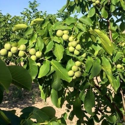 Грецкий орех Урожайный
