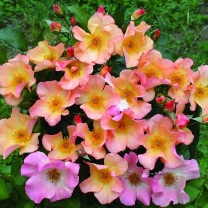 Роза Трамонто Эстиво BARNI (2 сорт)