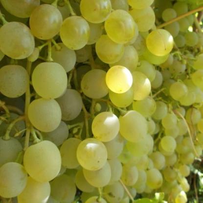 Виноград Антек