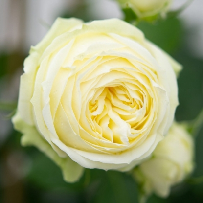 Роза Веддинг Пиано