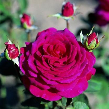 Роза Биг Перпл штамбовая