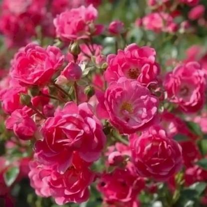 Роза Зоммермерхен
