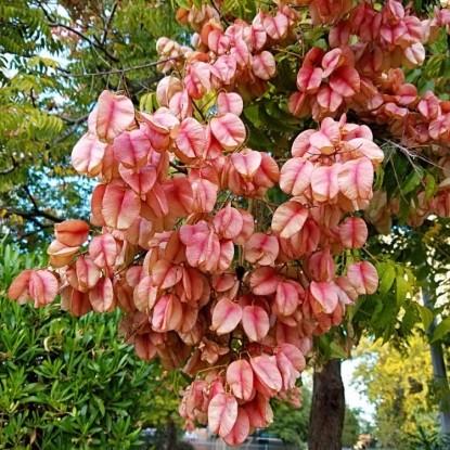 Кёльрейтерия Розовая гирлянда (семена)