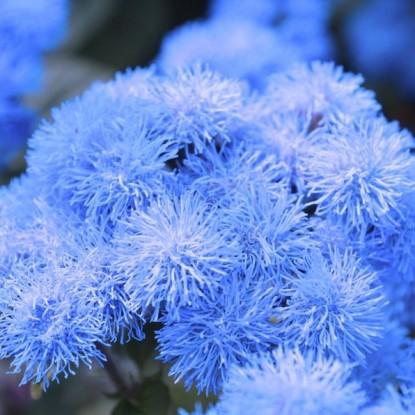 Агератум Голубая норка (серия Сад ароматов)