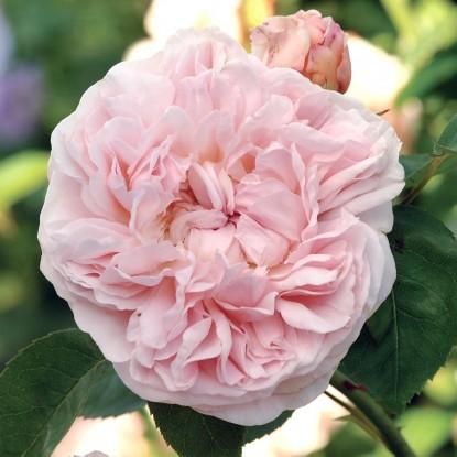 Роза Сент Свизан