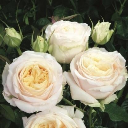 Роза Фриденслихт / Мемориал Роуз TANTAU