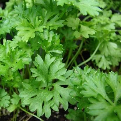 Петрушка листовая Зеленый хрусталь (сер. Заморозь)