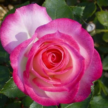 Роза Николь