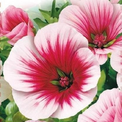 Малопа Бриллиантовая роза (сер. Розовые сны)