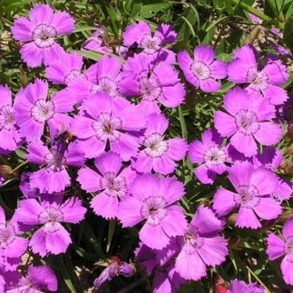 Гвоздика амур. Красновато-фиолетовая (сер. Альпийская горка)