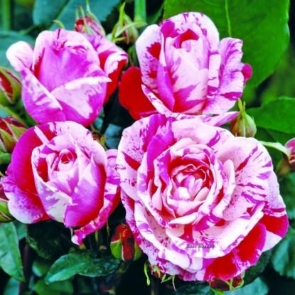 Роза Ренессанс (Ринасчименто) BARNI