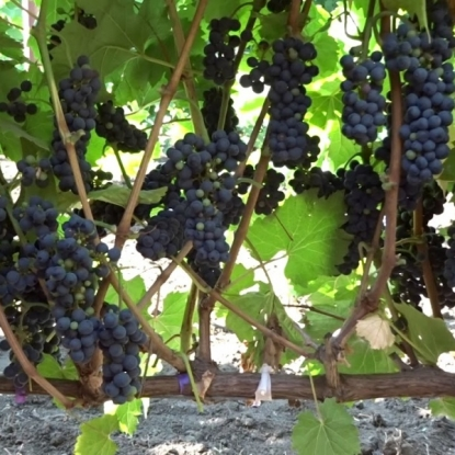 Виноград Маршал Фош