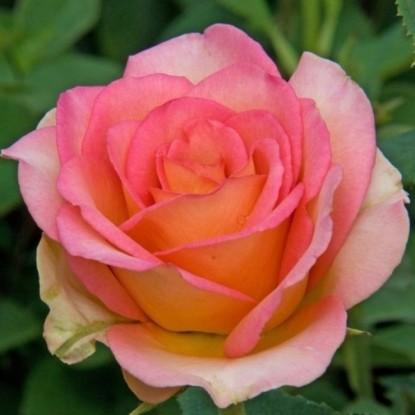 Роза Мондиале