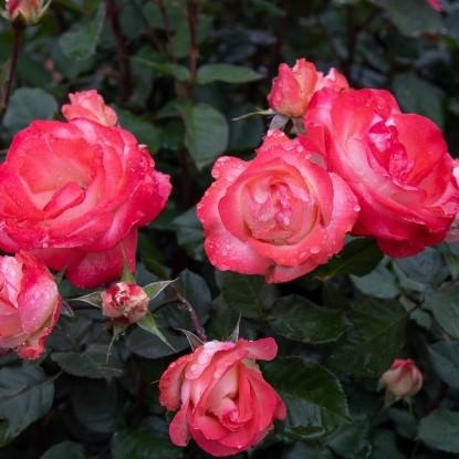 Роза Кикка BARNI