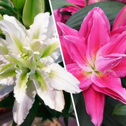 Набор СУПЕРмахровые лилии