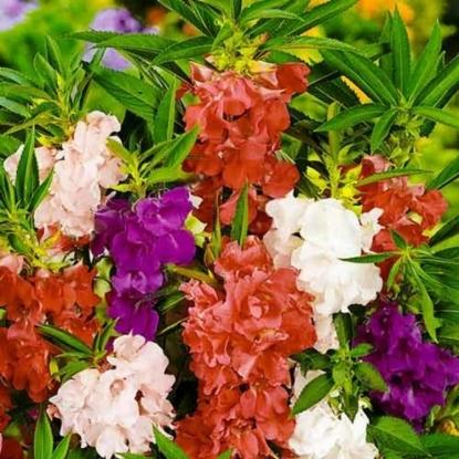 Бальзамин садовый Романтик