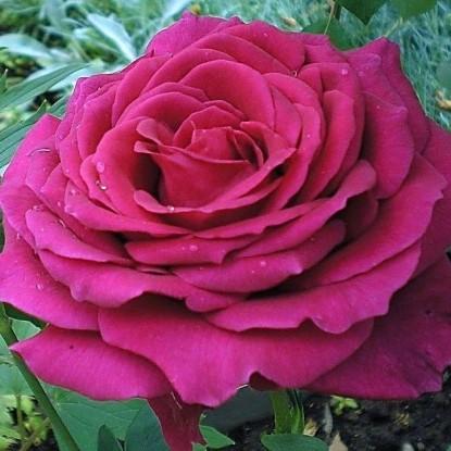 Роза Пароле С2