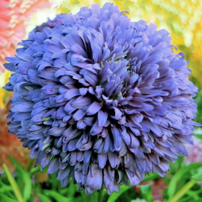 Астра Королевская синяя, пионовидная