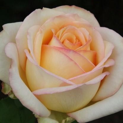 Роза Казанова