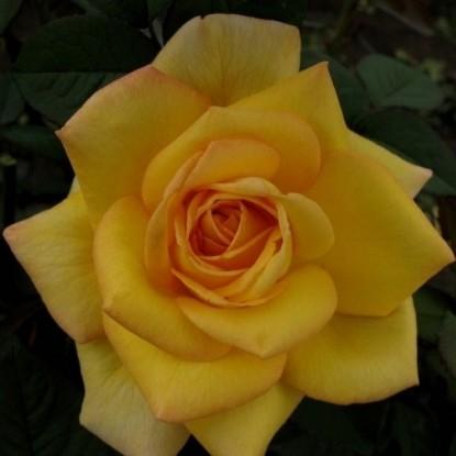 Роза О Соле Мио DELBARD