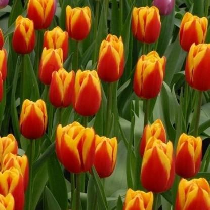 Тюльпан Люба