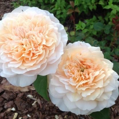Роза Инглиш Гаден