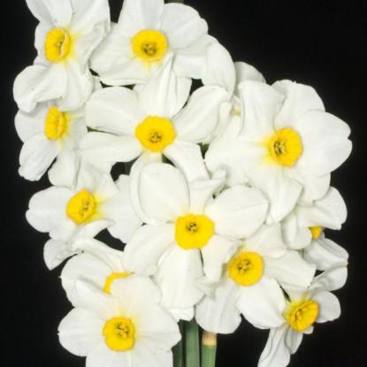 Нарцисс Аспазия