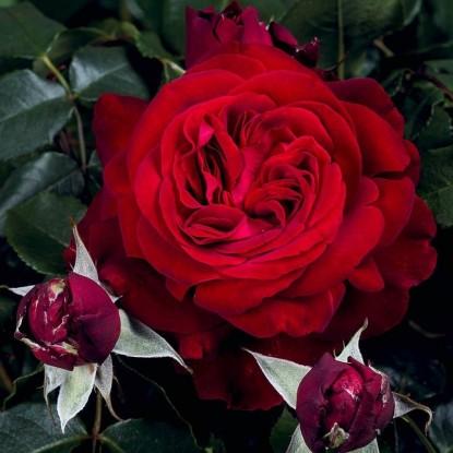 Роза Адмирал