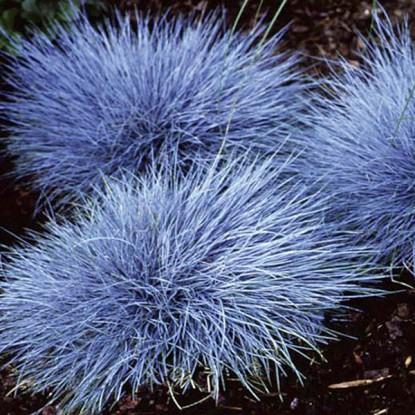 Овсянница голубая Эйсвогел