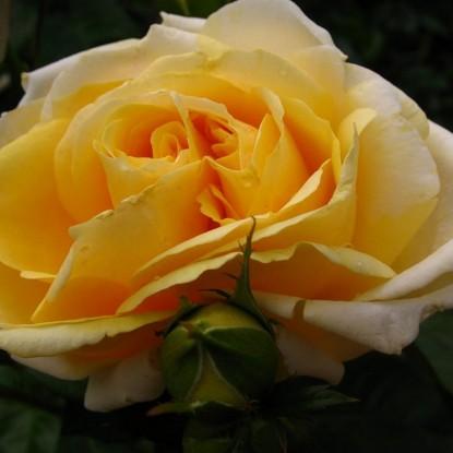 Роза Микеланджело
