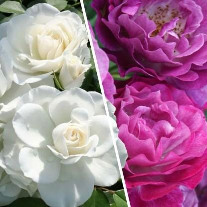 Набор Розы для терассы