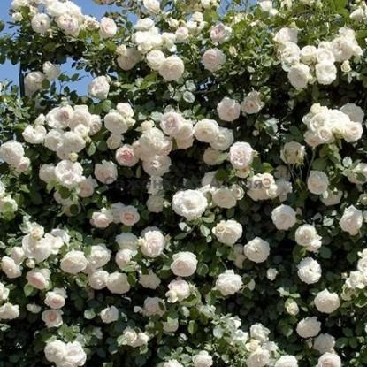 Роза Загадка (Плетистая, белая)