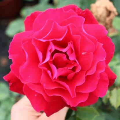 Роза Виктор Гюго