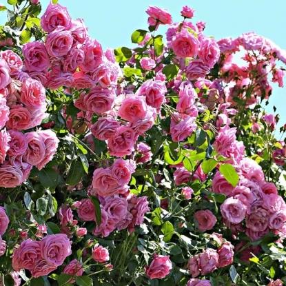 Роза Корал Даун
