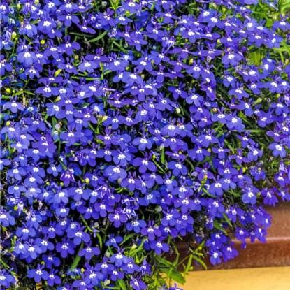 Лобелия Бисер голубой, ампельная (сер. Чудесный балкон)