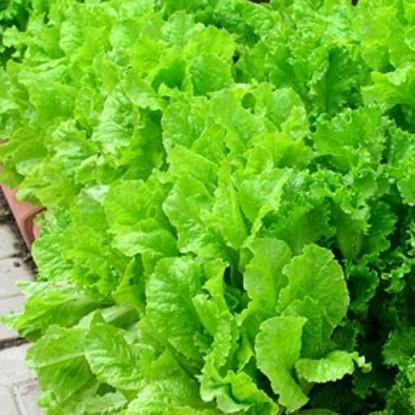 Салат Скоморох листовой, хрустящий