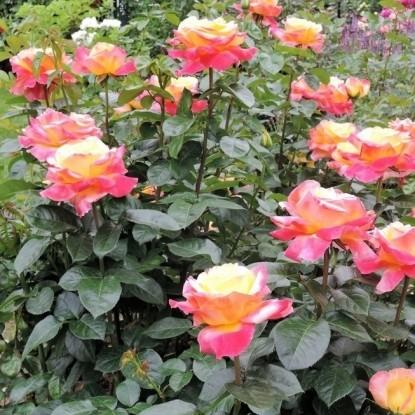 Роза Ориент Экспресс С2