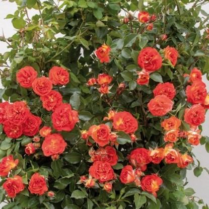 Роза Мисс Танго WEEKS